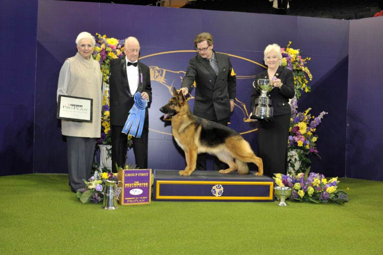 Westminster Dog Show German Shepherd