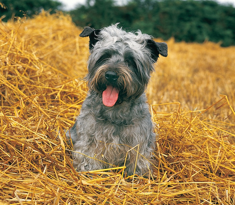 The glen of imaal terrier size matters american kennel club the glen of imaal terrier size matters altavistaventures