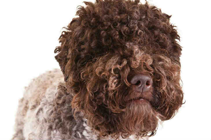 Lagotto Romagnolo Dog Breed Information American Kennel Club