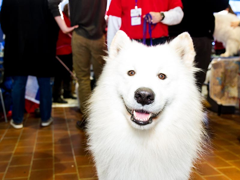 MTB-Samoyed-header