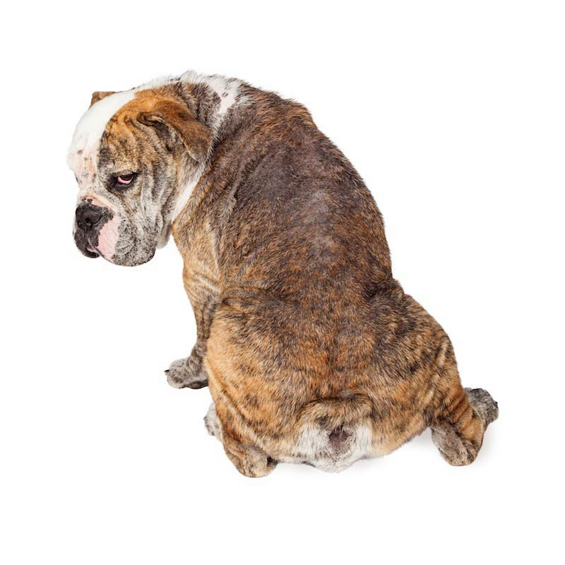 mange what you need to know american kennel club