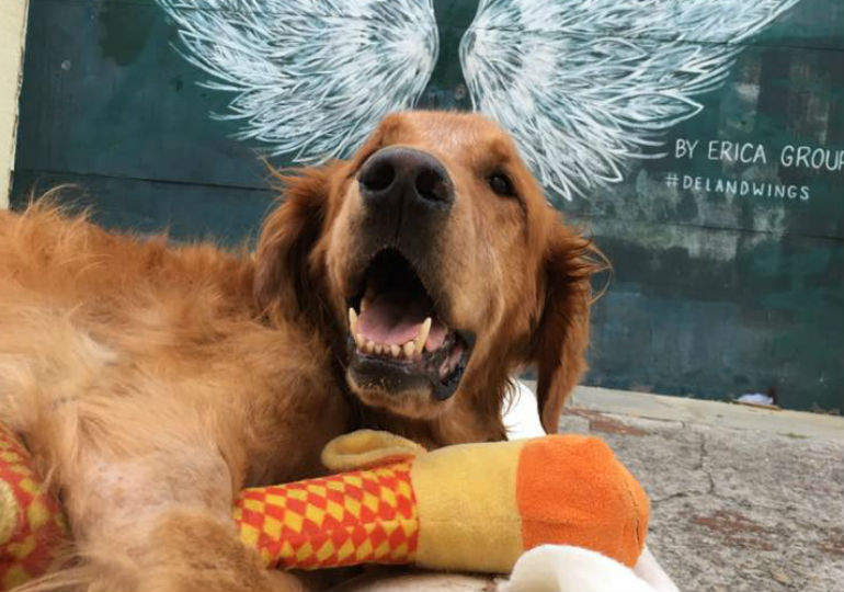Meet Maverick: the Golden Retriever that Even Cancer Can't Slow Down
