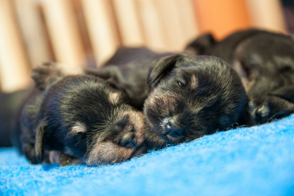Raising Newborn Puppies American Kennel Club