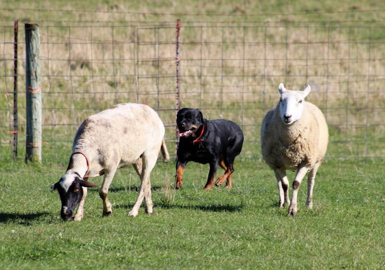 Rottweilers Show Off Their Herding Skills in Minnesota