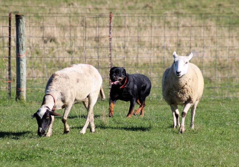 Rottweilers Show Off Their Herding Skills in Minnesota