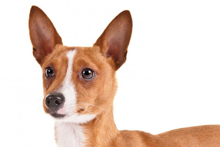 Portuguese Podengo Pequeno Dog Breed Information ...