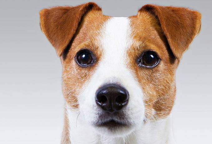 russell terrier header