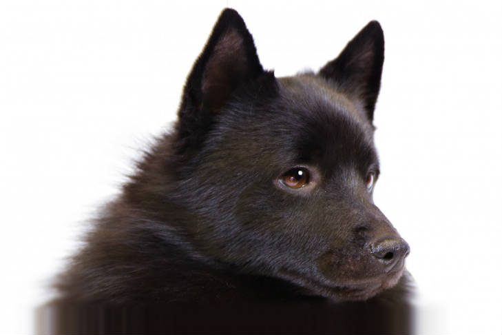 Schipperke Dog Breed Information American Kennel Club