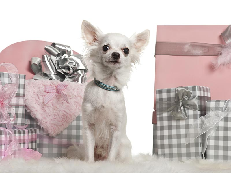 Small-dogs-holiday-header