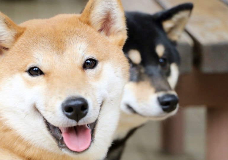 smiling shibas header