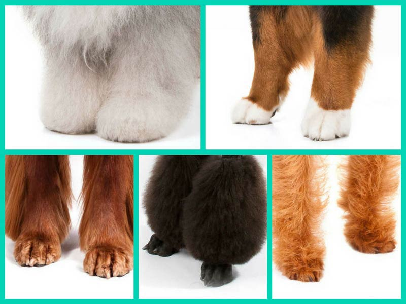 Quiz: Can You Identify the Dog Breed by Its Feet? – American