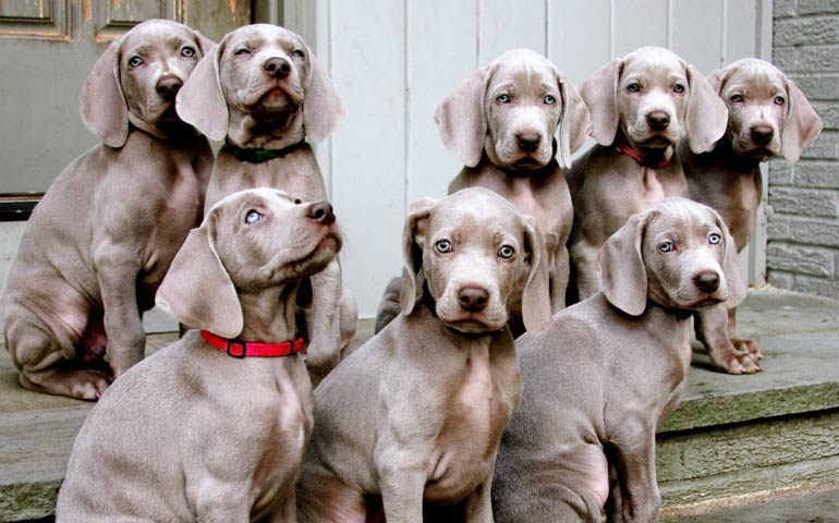 7 Ways Weimaraners Are Like No Other Dogs