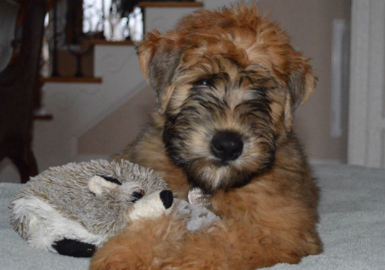 6 Things You Didn T Know About The Soft Coated Wheaten Terrier American Kennel Club