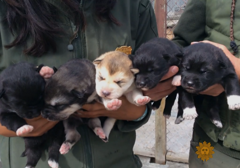 These 5 Puppies Are Being Trained for an Important Job