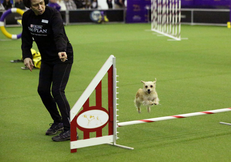 agility dog header