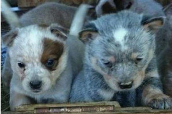 australian cattle dog puppy