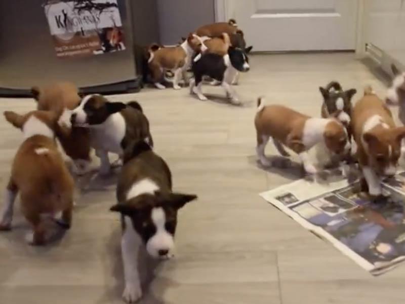 basenji pups header