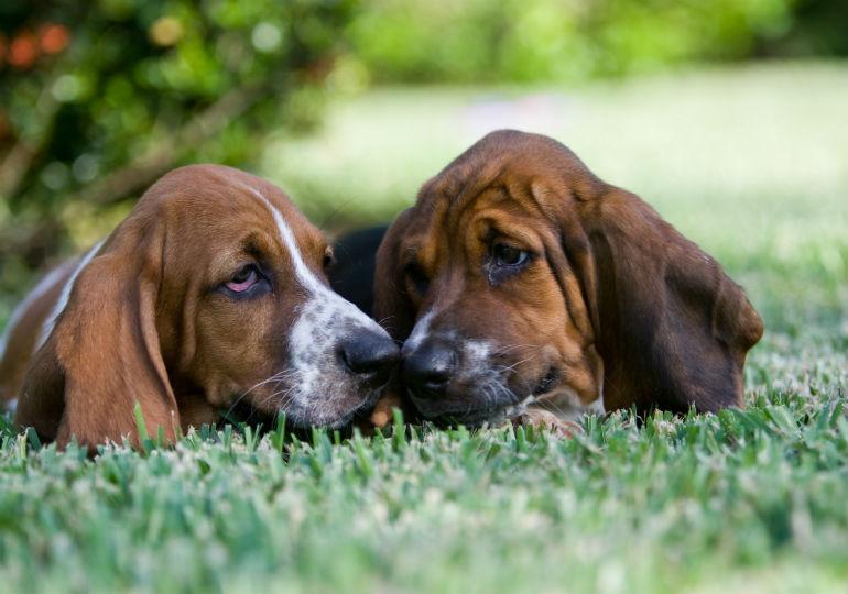 canine herpes header
