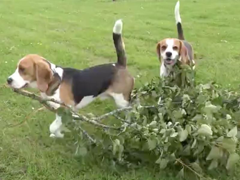 beagle hide and seek header