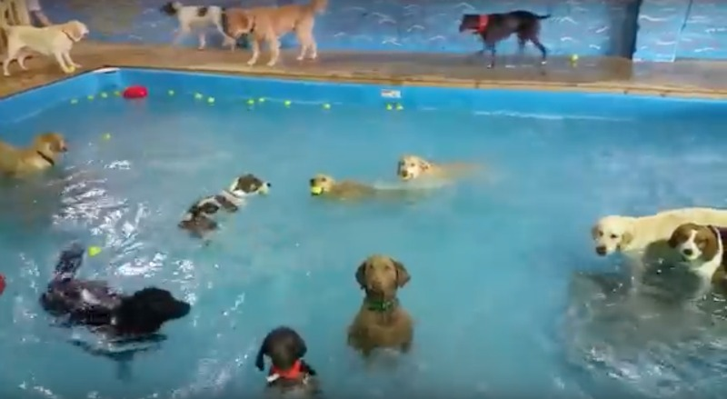 nonswimming dog stands in pool