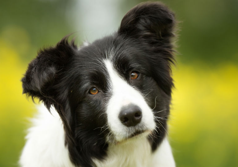 10 Things You Didn T Know About The Border Collie