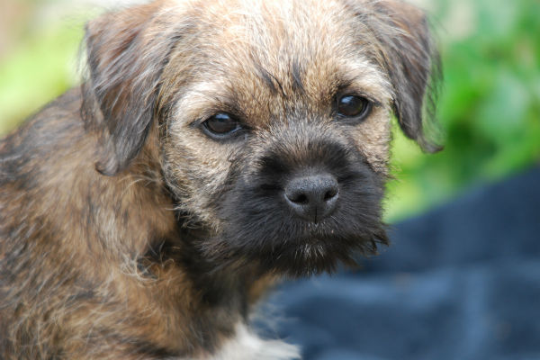 The Terrier Group Is Full Of Small Dogs That Don T Shed Or Minimally Wiry And Co Haired Terriers Less Than Other Breeds Making