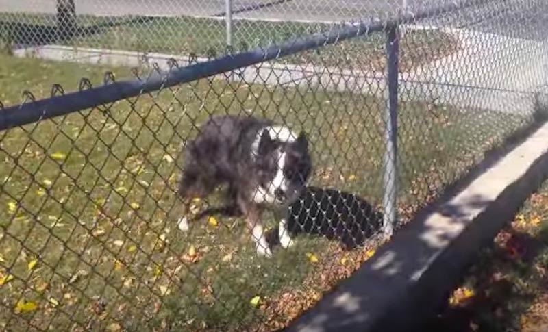 Border Collie behind fence