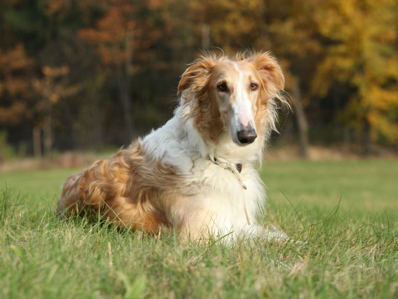 8 Fun Facts About The Borzoi A Graceful Wolf Hunter American