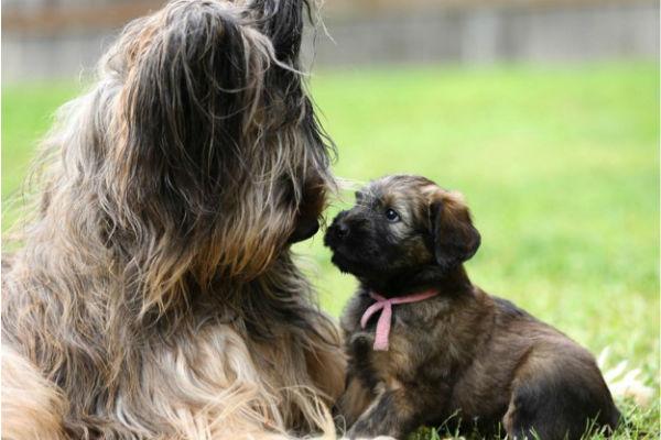 briard puppy