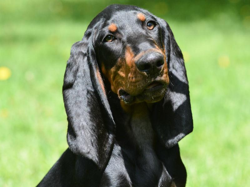 BT Coonhound header