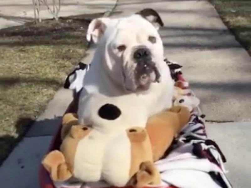 bulldog wagon header