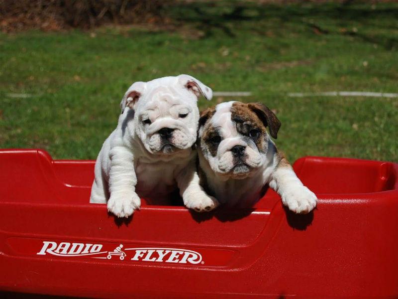 bulldog header
