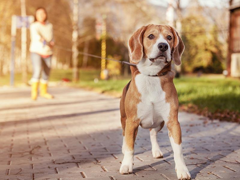 busy-beagle-header