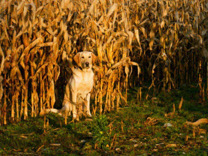 can_dogs_eat_corn