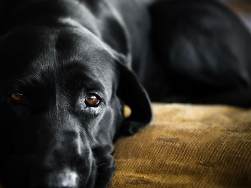 Lymphoma in Dogs: Symptoms, Diagnosis, and Treatment - American ...