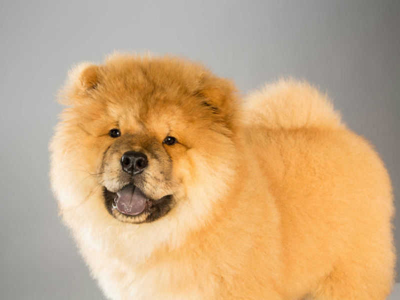 Ciao Ciao Dog: 11 Reasons Why The Chow Chow Is An Unusual Dog Breed