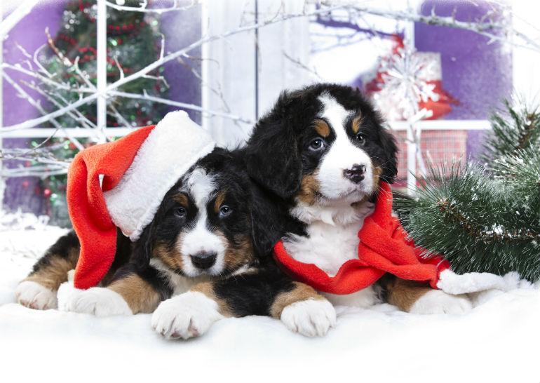christmas puppies header