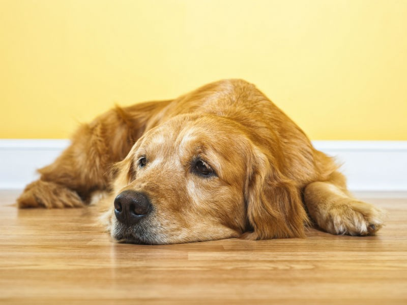 Owner's Guide to Clavamox for Dogs – American Kennel Club