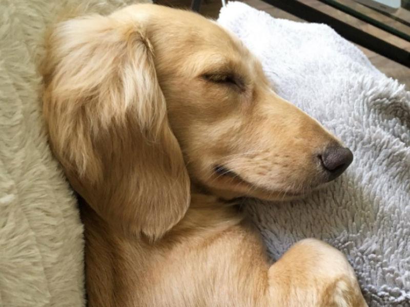 dachshund_august_hero