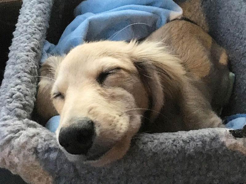 dachshund photo header