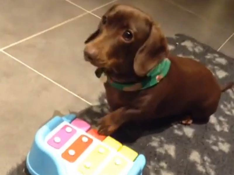 dachshund plays piano header