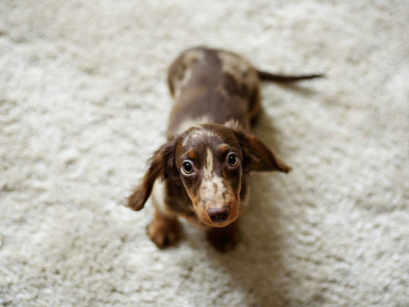 dachshund puppy header
