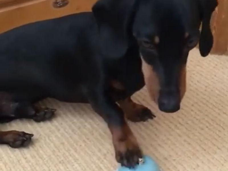dachshund rings hero