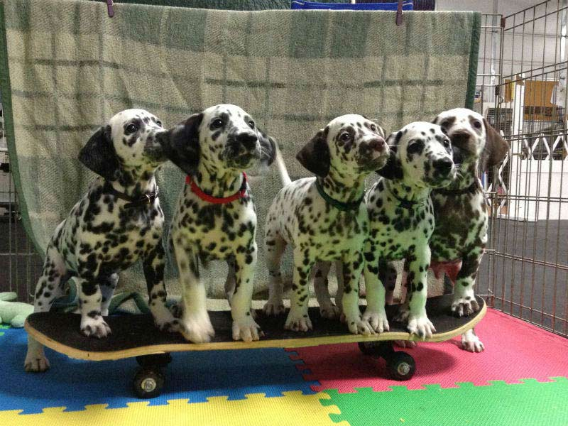 6 things you didnt know about the dalmatian � american