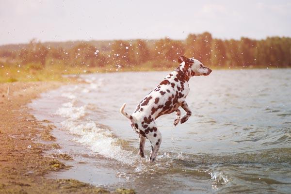 dalmatian in water