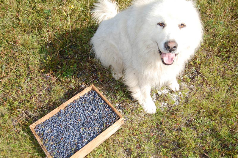 dog and blueberries header