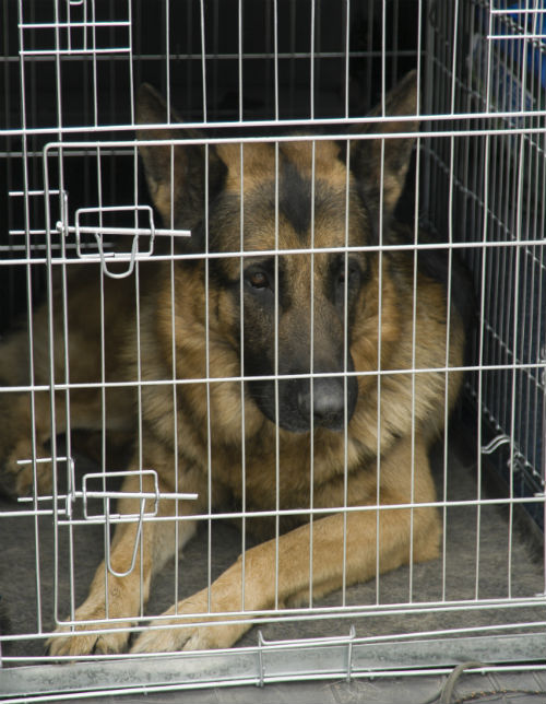 german shepherd in car crate