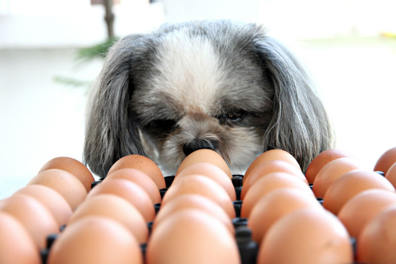 dog and eggs