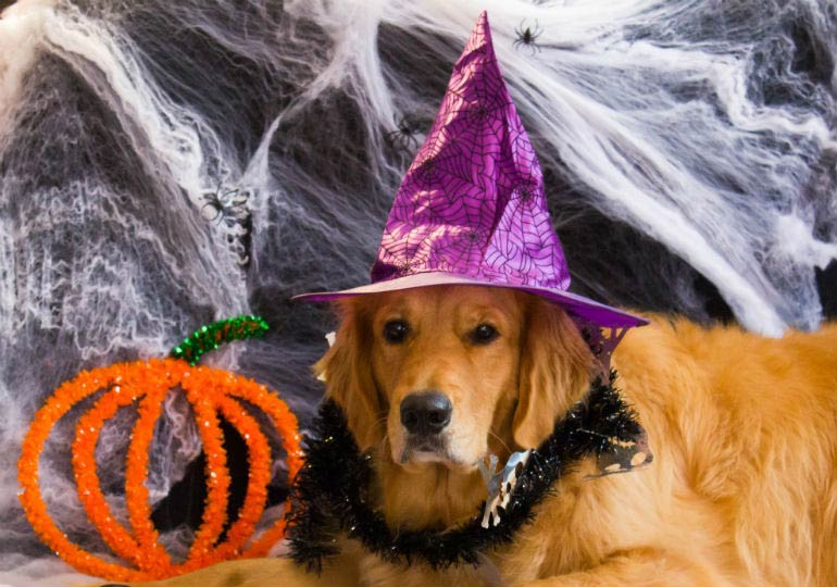golden retriever halloween