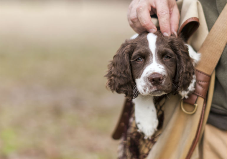 7 Things You Didn T Know About The English Springer Spaniel American Kennel Club